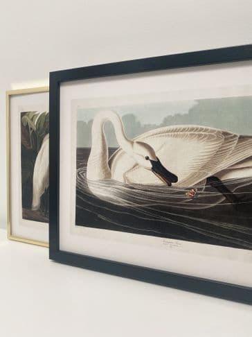 Trumpeter Swan (30x40cm landscape)